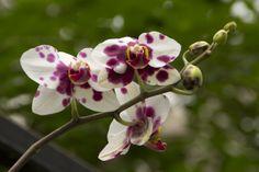 Orquídea purpura blanco
