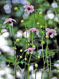 Anemonopsis macrophylla False Anemone from E. Beautiful Flowers, Macrophylla, Flowers, Anemone, Perennials, Plants, Planting Flowers, Plant Combinations, Vegetable Garden