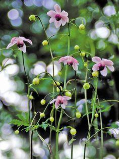 Porslinsanemon, Anemonopsis macrophylla | Graciös japansk växt med finflikigt bladverk och graciösa hängande ljuslila blommor som klarar vårt kalla klimat. En flerårig växt som passar i skuggiga och fuktiga lägen. Fröna behöver köldbehandlas för att gro. Ställ sådden varmt i 2– 3 veckor. Ställ den sedan kallt i 4– 6 veckor eller tills fröerna grott, bäst är + 3 grader men kylskåpstemperatur duger. Blommar juli– augusti. Höjd 80 cm, skugga.
