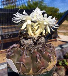 Discocactus boliviensis