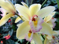 Orchids - Cymbidium Evening Star 'Pastel Princess' - Orchidaceae by fotoproze, via Flickr
