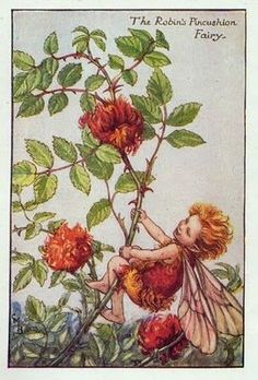 The ROBIN'S PINCUSHION Fairy ~ Cicely Mary Barker ~