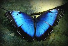 "Blue Morpho butterfly - ""Butterflies in the Garden"" - Fort Worth Botanical Gardens. #butterfly"