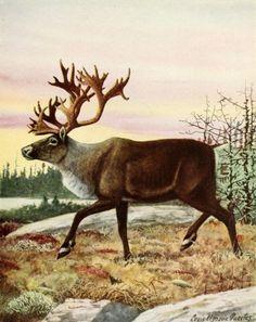 Fuertes, Louis Agassiz (1874-1927) - Burgess Animal Book for Children 1920 (Caribou). #vintage, #animals, #deer