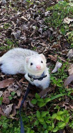 Her beautiful boy Zorro. Her beautiful boy Zorro. Baby Ferrets, Funny Ferrets, Pet Ferret, Cute Little Animals, Cute Funny Animals, Beautiful Creatures, Animals Beautiful, Cute Animal Pictures, Exotic Pets