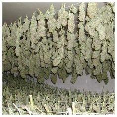 19 Best Grow Images On Pinterest In 2018 Hemp Marijuana Plants