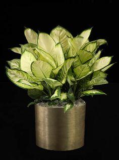 Dieffenbachia Amoena 'Marianne' | Phillip's Interior Plants, Chicago IL