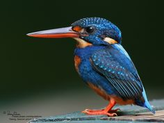 His beak is almost as big as his body!!  -   Indigo-banded Kingfisher