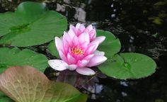 Seerosen: Wassertiefe ist wichtig -  Im Mai hat sich das Wasser so weit erwärmt, dass Sie die Königin des Gartenteichs, die Seerose (Nymphaea), pflanzen können. Hierbei gibt es einige Details zu beachten!