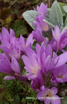 Colchicum speciosum coming up through pink crosswort (Phuopsis stylosa) [Nancy J. Ondra at Hayefield]