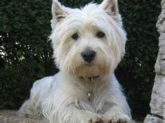 Image Search Results for west highland terrier