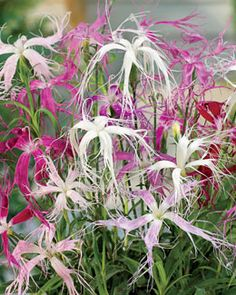 Dianthus, Ghost