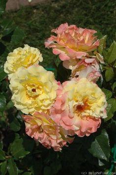 'Rugelda ' Rose Photo
