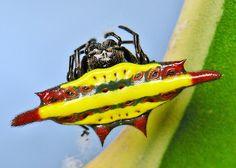 Gasteracantha, un genre d'araignées colorées - http://www.photomonde.fr/gasteracantha-un-genre-daraignees-colorees/