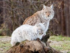 """incensewoman: """" tigersandcompany: """" Eurasian lynx (by Yves Janse) """" Beautiful cats. Big Cats, Cool Cats, Cats And Kittens, Animals And Pets, Baby Animals, Cute Animals, Wild Animals, Beautiful Cats, Animals Beautiful"""