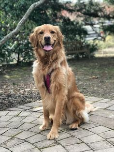 Piper loves her walks in the VT gardens Golden Retriever Mix, Retriever Puppies, Golden Retrievers, Labrador Retriever, Baby Puppies, Cute Puppies, Animals And Pets, Cute Animals, Collapsible Dog Bowl