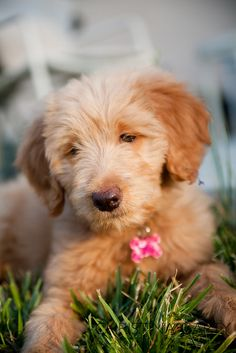 OH my heck! Our friends just got a Goldendoodle, freakin LOVE IT! Kenzie... this cute pup is for you!