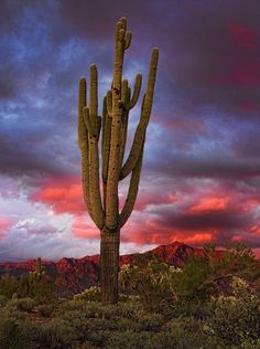Arizona Highways: February 21, 2015 - February 21, 2015 Near Peralta Road, sunset colors the sky behind a mature saguaro. Photo By: Richard Milligan - See more at: http://www.arizonahighways.com/photography/photo-archive#sthash.Rag6qsFV.dpuf