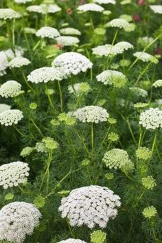 Shop for Bishop's Flower / Queen Anne's Lace Seeds by the Packet or Pound.Com offers Hundreds of Seed Varieties, Including the Finest and Freshest Bishop's Flower / Queen Anne's Lace Seeds Anywhere. Flower Garden, Wild Flowers, Planting Flowers, White Flowers, Plants, White Gardens, Urban Garden, Flowers, Flower Seeds