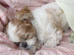 Sweet dreams Shih Tzu ...