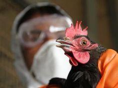 #RD Congo : la grippe aviaire touche la province de l'Ituri - Agence Ecofin: 7sur7 RD Congo : la grippe aviaire touche la province de…