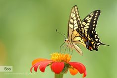 Old World Swallowtail #3 by irtsgetd. Please Like http://fb.me/go4photos and Follow @go4fotos Thank You. :-)