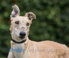 Ted is now available! He has come a long way to get here. Let's get him home quickly! http://www.galtx.org/hounds/ted2.shtml