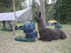 Llama trek through Yellowstone $295 per person per day based on 4 adults 2016. Llama Guided Pack Trips and Outfitting Company | Yellowstone Safari