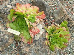 Aeonium glandulosum - Universidad de California Jardín Botánico - DSC08946.JPG