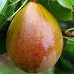 Perenboom 'Beurre Hardy' Pyrus Communis 'Beurre Hardy'  Sappige peer. Zeer mooi gekleurd. Vrij populair ras voor de particuliere tuin. De Beurre Hardy is een sterke groeier.