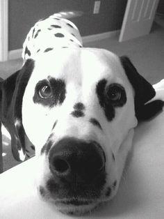 Luckie...Dalmatian Love!