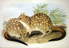 """WESTERN QUOLL — Australian Western Quoll, Dasyurus geoffroii (formerly known as Dasyurus geoffroyi).  EXTINCT. 