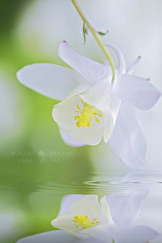 ✤ Simple beautiful flower White flower Tranquil Spring by Jacky Parker Floral Art, via Flickr