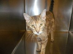 Steubenville, OH. Sienna. URGENT! Bengal & Domestic Short Hair Mix • Adult • Female • Medium Jefferson County Humane Society. Petfinder link included. Sienna is listed as an adult, Bengal & Domestic Short Hair Mix. She has been waiting here a long time for a family to call her own! Please share Sienna far and wide! Someone out there must be looking for a new best friend? Come on Ohio..... Sienna is waiting!