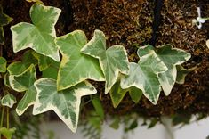 Hedera helix (Common Ivy, English Ivy) is a species of ivy native to most of Europe and western Asia.It is widely cultivated as an ornamental plant. Ivy Plants, Indoor Plants, Hedera Helix, Love Garden, Garden Care, Tree Leaves, Plant Leaves, English Ivy Indoor, Gardens