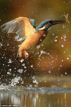 A kingfisher emerges from the lake with its prey