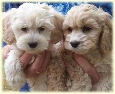 I love my cockapoo Mikey (not pictured, but looks just like the one on the right!) He is named after the green monster from Monster's Inc. Cockapoo Puppies, Cute Puppies, Cute Dogs, Dogs And Puppies, Doggies, Cavachon, Mini Goldendoodle, Animals And Pets, Baby Animals