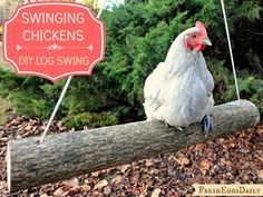 Fresh Eggs Daily®: Swinging Chickens: Make an Easy DIY Log Swing for your Run. Do your babies have a chicken swing :) Chicken Coup, Chicken Coop Plans, Building A Chicken Coop, Diy Chicken Coop, Moveable Chicken Coop, Chicken Feeders, Chicken Coop Designs, Chicken Tractors, Backyard Chicken Coops