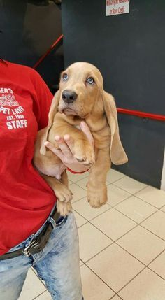 Basset Basset Puppies, Basset Hound Puppy, Hound Dog Breeds, Bloodhound Dogs, Beagles, Dogs And Puppies, Doggies, Corgi, Blue Eyed Puppies