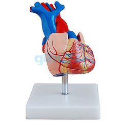 Life Size Human Heart Vein Plumonary Circulation Anatomy Cardiac Medical Model #Affiliate