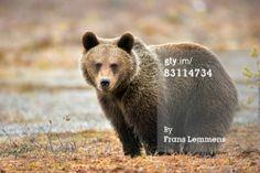Stock Photo : Finland, Brown bear.