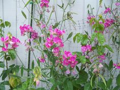 More Sweet Peas in the F garden.