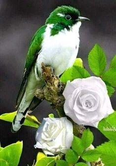 Greeny bird