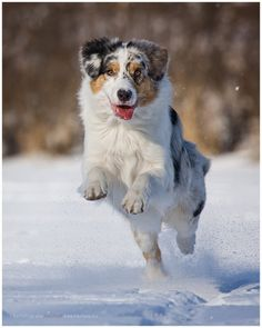 My dog's brother: Blue Merle Australian Shepherd playing in the snow, Germany, by friend/photographer Jana Weichelt