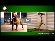 Pitbull Training -  American  Pitbull  Terrier Training, it's very important to train your pitbull  to be well behaved, APBT obedience training  its an easy thing once you know  how to use the right training