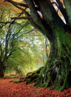 Scotland , Kinclaven, Ancient Beech Tree with Irish Leprechaun in foreground.