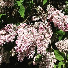 Can you smell them? #lilacs #spring