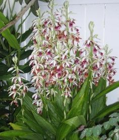 My Orchids Journal — Phaius tankervilleae orchid Are from India.