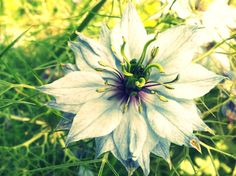 Nigella Damascena Photo by @claireoxox is featured from Aquariann's #FlowerFriday hop!