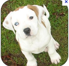 i will own this dog one day. white and brown pitbull puppy